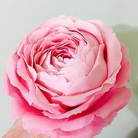 Large Pink Sugar rose