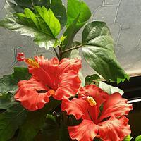 Hibiscus in Gumpaste