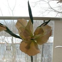 my first sugar iris  by gail
