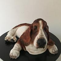The beautiful basset hound Buster
