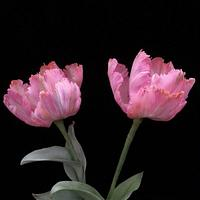 Sugar Fringed Parrot Tulips