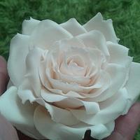cream sugar rose