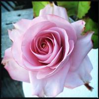 Sugar Rose by Terra Landry