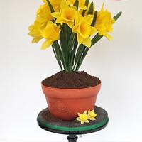 Pot of Daffodils