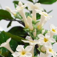 free formed stephanotis