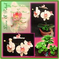 Sugar Phalaenopsis and Jade Plants