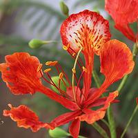 Sugar Flower - Gulmohar (The Flame Tree)