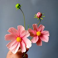 Sugar Cosmos flowers