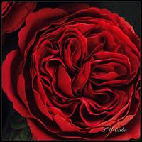 Deep Red English Style Sugar Rose