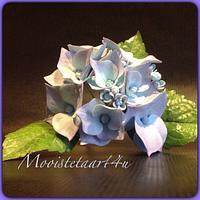 My hydrangea...