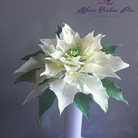 Waiting for Christmas...White Poinsettia