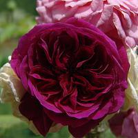 Heirloom David Austin inspired Sugar Rose