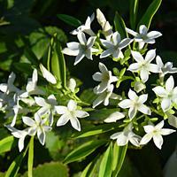 Freeformed Jasmin flowers