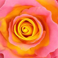 Yellow center pink edged icing Rose