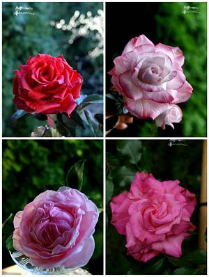 My sugar roses - Cake by Katarzynka