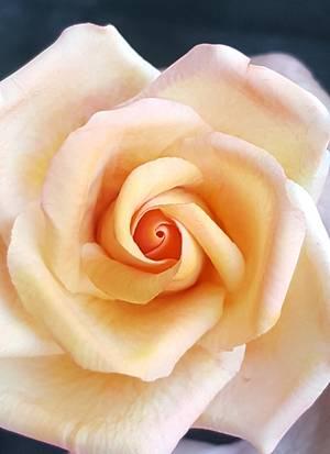 Rose - Cake by Asya Vencheva