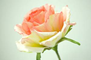 Rose for Mothers's Day  - Cake by ShrutisCakeAddiction
